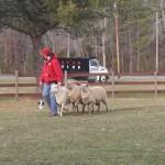 Herding puppy